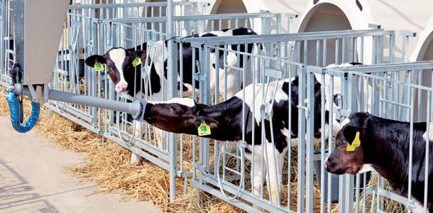Automatic Rail Feeders Deliver Milk To Calves In