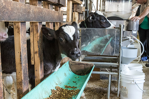 Four considerations for automated calf feeding