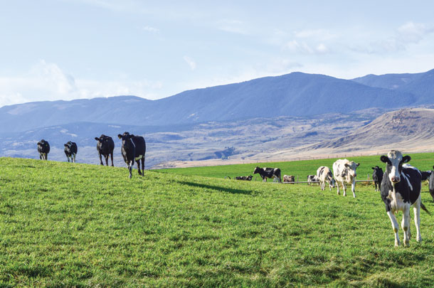 Golden Gate Farm cows have access to pasture 24 hours a day