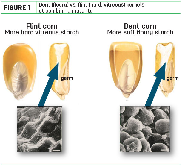 Dent(floury) vs. flint (hard, vitreous) kernels at combining maturnity