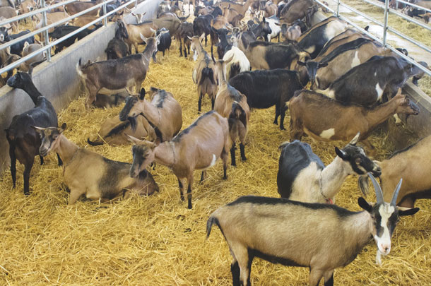 Dairy goat operations improve profitability