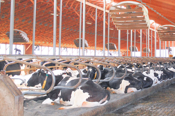 Cows housed in a comfortable enviroment