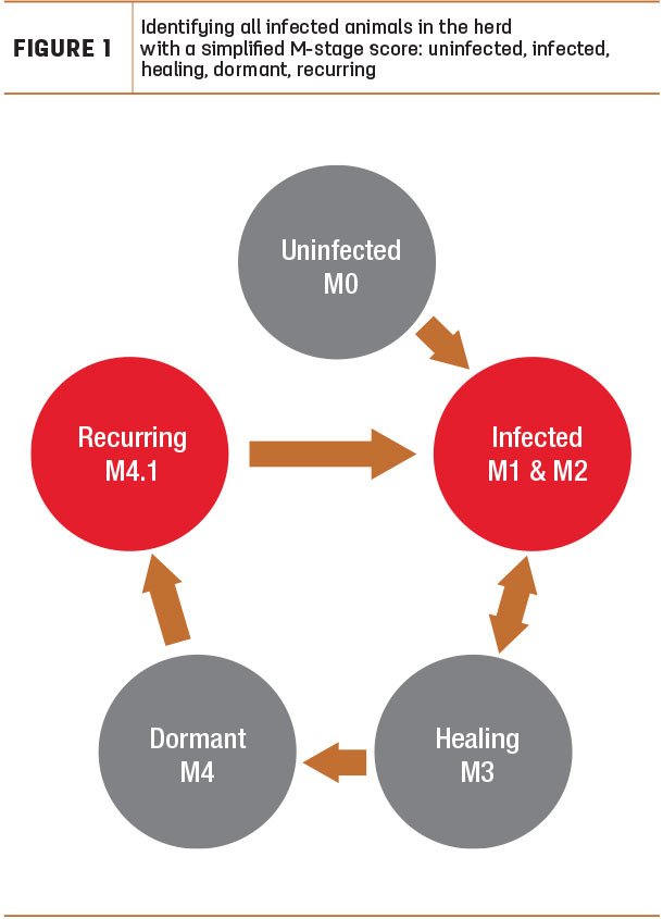 Identifying all infected animals in the herd  with a simplified M-stage score: uninfected, infected, healing, dormant, recurring