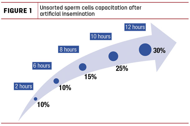 Unsorted sperm cells capacitation after artificial insemination