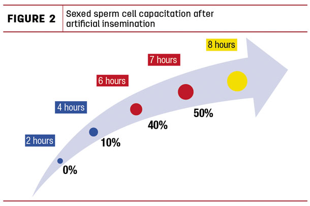 Sexed sperm cell capacitation after artificial insemination