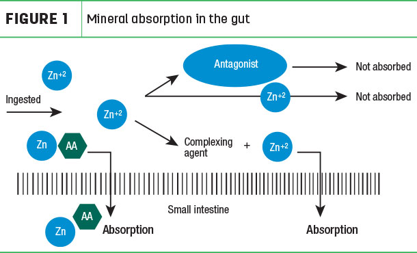 Mineral absorption in the gut