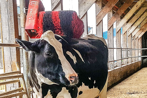 A cow uses a rotating machanical brush