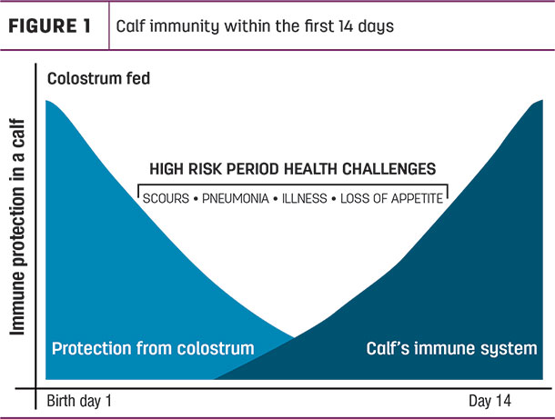 calf immunity within the first 14 days