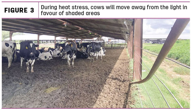 During heat stress, cows will move away trom the light in favour of shaded areas