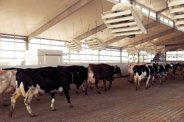 As cosw enter the parlour, overhead recirculating fans direct cool fresh air down to cow level