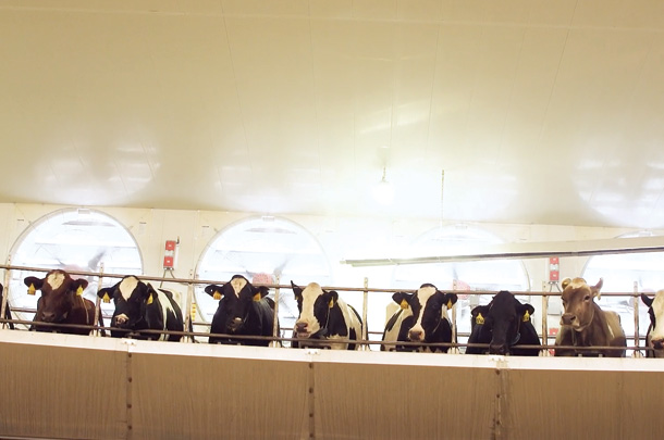 Positive-pressure fans equipped with high-ressure fogging units over this rotary parlour